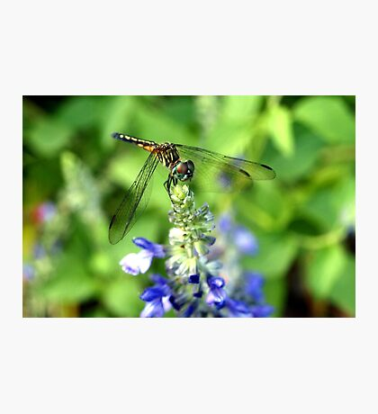 Dragonfly on Sage Photographic Print