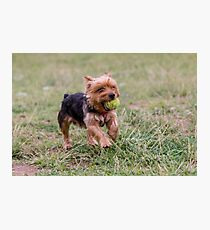 Yorkshire Terrier running with a ball Selective focus on the dog Photographic Print