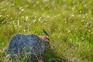 Meadow Bird, Kilchurn Castle, Scotland by Beth A.  Richardson