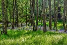 Taychreggan Forest, Argyll, Scotland by Beth A.  Richardson