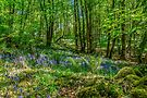 Forest in bloom with bluebells, Co. Argyll, Scotland by Beth A.  Richardson