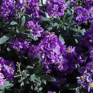 Rich Purple Sunlit Stocks by MidnightMelody
