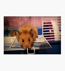 Syrian Hamster Photographic Print