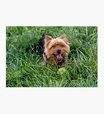 Yorkshire Terrier laying on the green grass Photographic Print