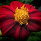 Dahlia 'Bishop of Auckland'  by Marilyn Harris