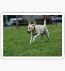 Labrador retriever running outside in the park. Sticker