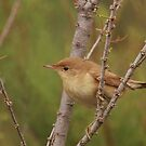 Willow warbler by miradorpictures