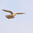 Kestrel hovering  by miradorpictures