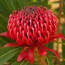 Waratah in the wild by Michael Matthews