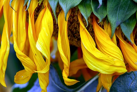 close up details of a sunflower by PhotoStock-Isra