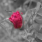 Rose Bud selective by Martha Medford