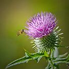 Bull Thistle by M S Photography/Art