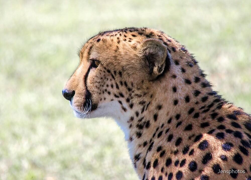 Cheetah ... African Wild Cat by Jensphotos
