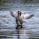 Australian wood duck x 2 by Janette Rodgers