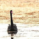 Black Swan by Janette Rodgers