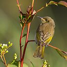 Brown honeyeater by Janette Rodgers