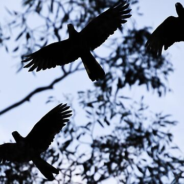 Black cockatoos at dusk by catdot