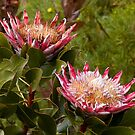 King Protea by Judy Harland