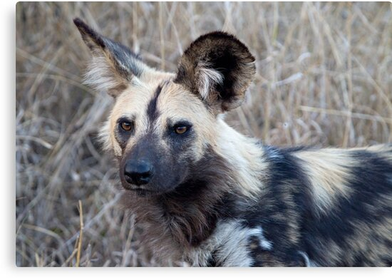 African Wild Dog by Michael  Moss