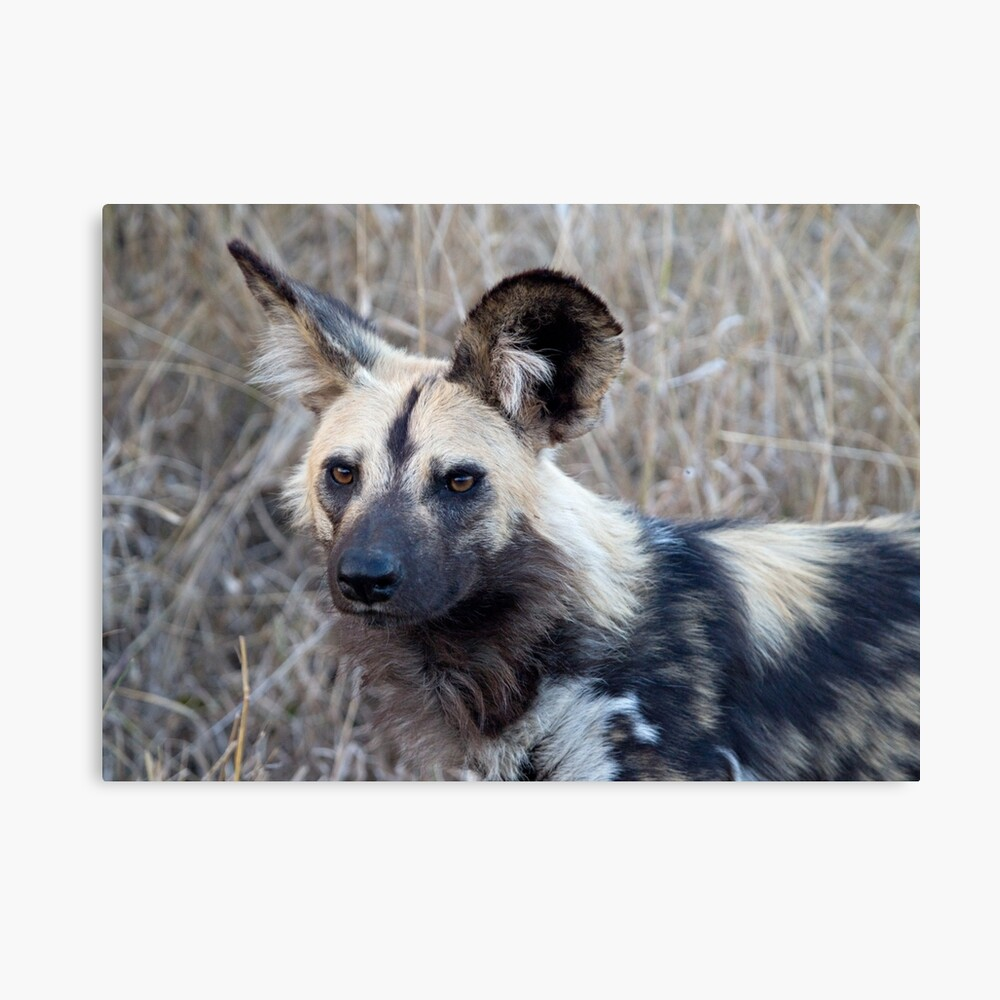 """""""African Wild Dog"""" Canvas Print by Mytmoss   Redbubble"""