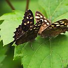 Butterfly Kisses - Speckled Wood Butterflies by Lepidoptera