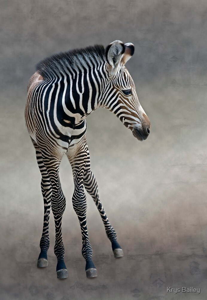 Dreams in Black and White (Grevy's Zebra) by Krys Bailey