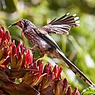 Yellow Wattlebird by Robert Elliott
