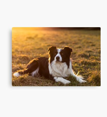 border collie at sunset Canvas Print