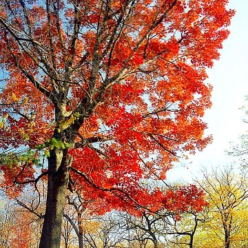 Little Red Tree, Central Park by biriart