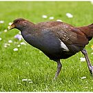 Tasmanian Native Hen by Robert Elliott