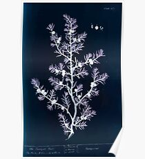 A curious herbal Elisabeth Blackwell John Norse Samuel Harding 1737 0478 The Juniper Tree Inverted Poster