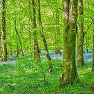 Bluebell Wood, near Carrick on Shannon, Ireland by Pauline Tims