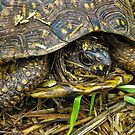 Box turtle in the fall- thinking about hibernating by David Chesluk