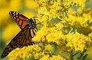 Monarch Butterfly by Jean Martin