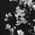 Spring in Black & White by Kitsmumma