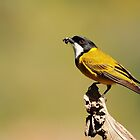 The Golden Whistler by CBoyle