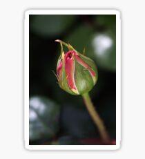 Blushing Bud Of Rose Sticker
