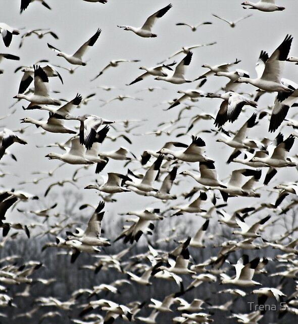 Snow Geese by Trena S