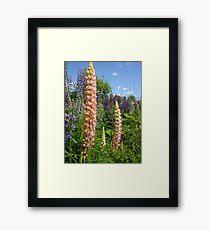 Lupin Summer Framed Print