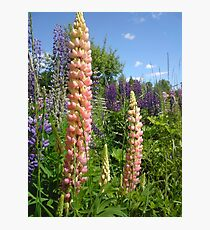 Lupin Summer Photographic Print