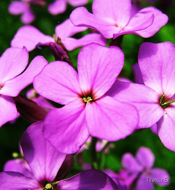 Tiny Beauties  Wild Phlox by Trena S