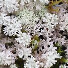 Snow Lichen - As delicate as Lace by Marilyn Harris