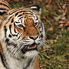 Amur Tiger - Panthera tigris altaica by Ray Clarke