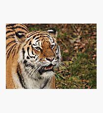 Amur Tiger - Panthera tigris altaica Photographic Print