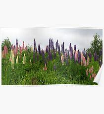 Lupin Panorama Poster