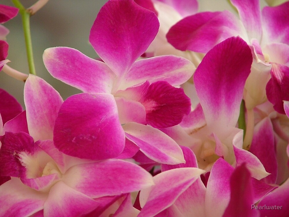 Pink orchids by Chris Quinlan