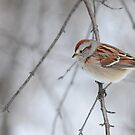 The tree sparrow by Jeannine St-Amour