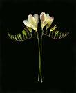 Twin freesia stems by Barbara Wyeth