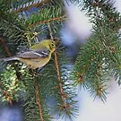 Palm Warbler by Jeannine St-Amour