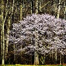 Hawthorn Tree by cclaude